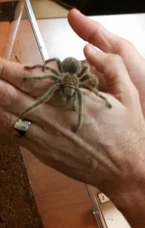 A Chilean rose hair tarantula crawling on my hands.