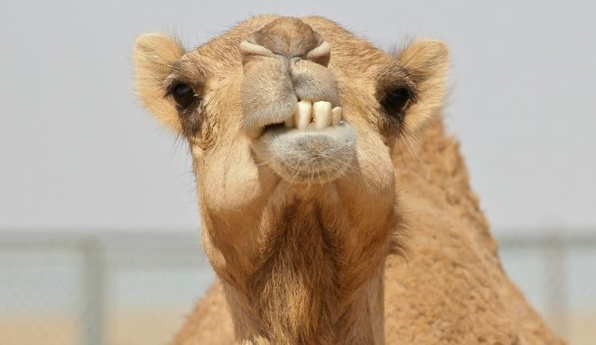 camel-teeth2-660x382